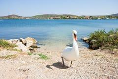 Bilice, Sibenik-Knin, Croatie - un cygne blanc marchant vers le haut la plage photo libre de droits