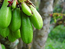 Bilimbi、Bilimbing或者锐叶木兰树 库存图片