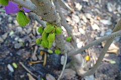 Bilimbi, тропический плодоовощ Стоковые Изображения