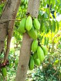 Bilimbi Imagens de Stock Royalty Free