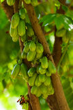 绿色Bilimbi 免版税库存照片