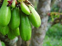 Bilimbi, Bilimbing, o árbol de pepino Imagen de archivo