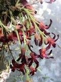 Bilimbi blomma Fotografering för Bildbyråer