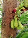 Bilimbi do Averrhoa no fundo da árvore com flor foto de stock royalty free