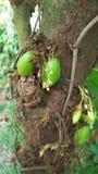 Bilimbi et fleurs d'Averrhoa d'arbre de Bilimbi Photographie stock