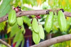 Bilimbi Früchte Stockfotografie