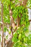 Bilimbi Frucht Stockfoto