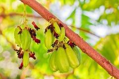 Bilimbi Frucht auf Baum Stockfotos