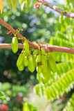 Bilimbi Fruit Royalty Free Stock Image