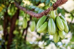 Bilimbi is sour fruits and fresh. BIlimbi fruit bunch on limb and trunk.Fruit are sour taste, can cooking or eaten fresh Stock Photos