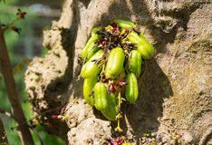 BILIMBI FRUIT OF PASSIEVRUCHT Stock Afbeeldingen