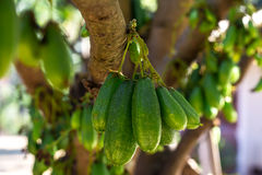 Bilimbi fruits Royalty Free Stock Images