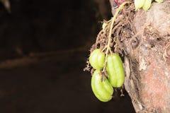 Bilimbi frukt på ett träd Arkivfoton