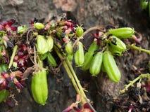 Bilimbi na drzewie Obrazy Royalty Free