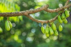 Bilimbi owoc na drzewie Zdjęcia Stock