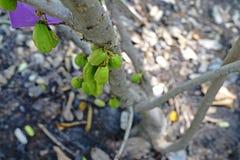 Bilimbi,tropical  fruit. Bilimbi,tropical pant with sour fruit Stock Images