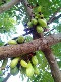 Bilimbing, komkommerboom Stock Afbeeldingen
