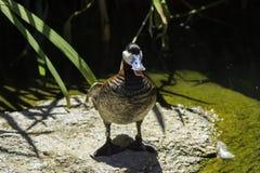 Bill Duck blu Fotografia Stock Libera da Diritti