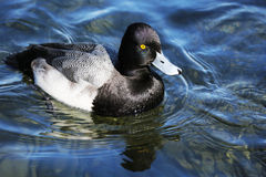 Bill Duck Drake bleu - un plus grand fuligule milouinin Photo libre de droits