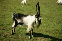 Bill goat on the pasture Royalty Free Stock Photos