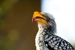 Bill Hornbill Posing amarelo Imagem de Stock