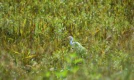 Bill ibis white bird on rice fields Royalty Free Stock Photos
