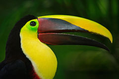 Bill toucan portrait. Beautiful bird with big beak. Toucan. Big beak bird Chesnut-mandibled sitting on the branch in tropical rain. Forest, Panama stock photography
