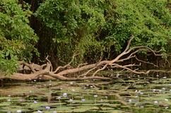 Billabong near Darwin, Australia. Branches are reflected in the waters of a billabong near Darwin, Australia Stock Photos