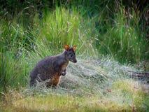 Billardierii del Thylogale - Pademelon tasmaniano conosciuto come il pademelon rufous-gonfiato o il pademelon rosso-gonfiato immagini stock libere da diritti