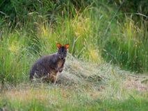 Billardierii del Thylogale - Pademelon tasmaniano conosciuto come il pademelon rufous-gonfiato o il pademelon rosso-gonfiato fotografia stock libera da diritti