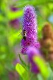 Billards Spirea - bee Stock Image