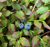 Billberries dorośnięcie w dzikim, Yorkshire Zdjęcia Stock