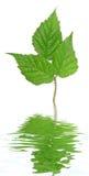 billberry zielony liść Obrazy Royalty Free
