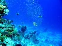 Bille multiple d'amorce de chasse de Volitans de poissons de lion Image libre de droits