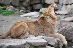 Bâillement de lion Images libres de droits