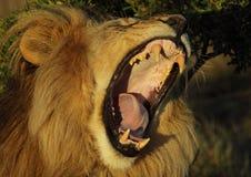 Bâillement de lion Photographie stock libre de droits
