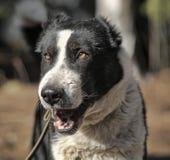 Bâillements caucasiens de chien de berger Photographie stock libre de droits