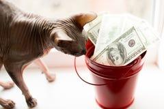Billetes de dólar en cubo rojo y gato gris en la ventana blanca Fondo ligero Visión superior mucho dinero con el sphynx fotos de archivo