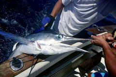 Billfish white Marlin catch and release on boat Royalty Free Stock Image