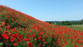 A billion poppy flowers Stock Image