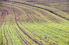 Billowy field. With the young crops Stock Image