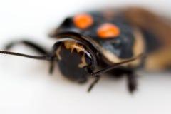 BilLucihormetica f?r kackerlacka liten subcincta med orange fl?ckar Kackerlackaavtomobilchiki fr?n det tropiska regnet arkivbilder