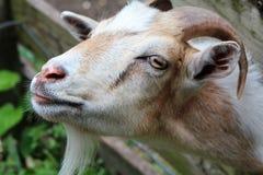 Billy die Ziege stockfotos