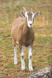 Billy Goat. Vertical Photo of a Billy Goat Kid with rock in foreground standing on grass with pine needles stock photo
