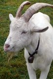 Billy goat. Portrait of old billy goat. animal on farm royalty free stock photography