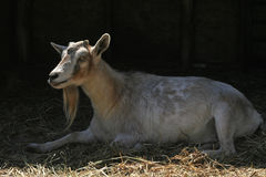 Billy Goat Royalty Free Stock Photo