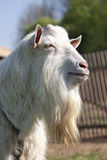 The billy goat. The white funny billy goat royalty free stock photo