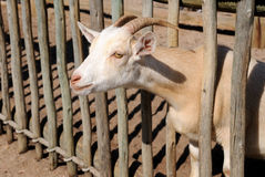Billy goat. Farm goat putting his head through a wood fence Royalty Free Stock Images