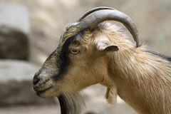Billy goat. Portrait of braun billy goat stock images