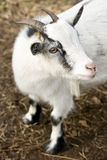 Billy goat. High angle view of billy goat, shallow DOF, focus on eye and side of face stock photography